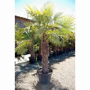 Palmier De Jardin : palmier chanvre 50cm concept jardin ~ Nature-et-papiers.com Idées de Décoration