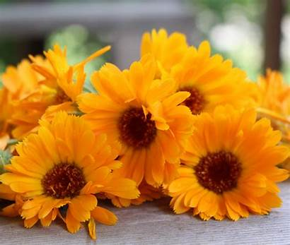 Calendula Flowers Tea Uses Dried Grow Thenerdyfarmwife