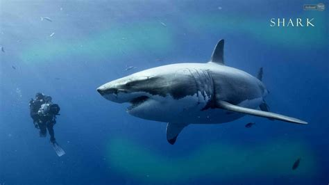 Shark with Fish in Mouth