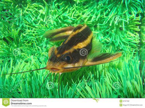poisson chat d aquarium le poisson chat a barr 233