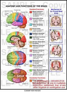 Anatomy And Functions Of The Brain Medical Illustration