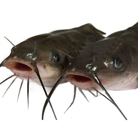 cuisiner poisson surgelé silure 5kg 500 800 bergamini
