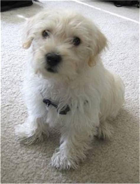 westiepoo west highland white terrierpoodle mix info