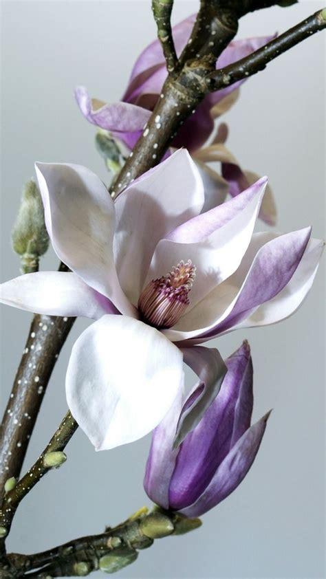 Flor de la MAGNOLIA muy hermosa y grande 😘 FLORES DEL