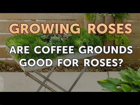 But some gardeners suggest that using coffee grounds could be ineffective. Are Coffee Grounds Good for Roses? - YouTube
