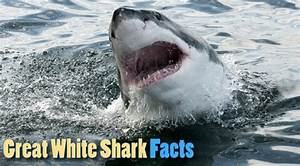 Great White Shark Facts For Kids From Active Wild