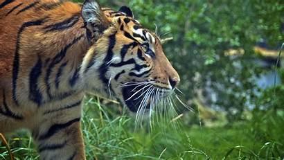 4k Tiger Wallpapers Desktop Ultra Tigre Animals