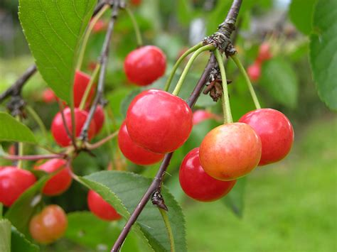 cherries types sour cherry varieties harvest to table