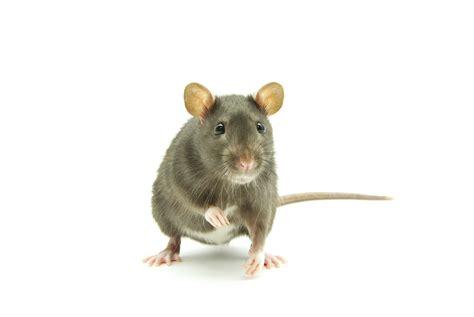 Rat Care | Petfinder