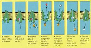 Active Transport And Facilitated Diffusion Aqa As Bio