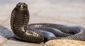 Egyptian Cobra Facts and Pictures | Reptile Fact