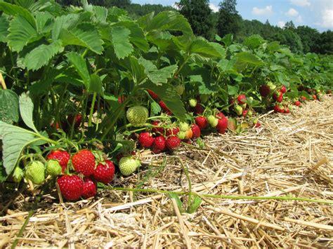 wann pflanzt tulpen wann pflanzt clematis wann pflanzt erdbeeren
