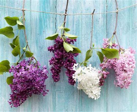 flieder pflanzen schneiden und vermehren living at home