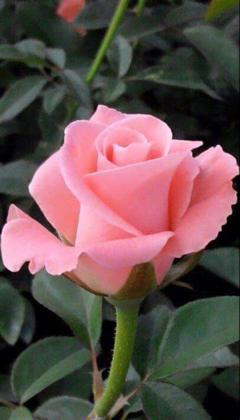 roses best 25 best ideas about rose buds on pinterest roses rose flower photos love and beautiful rose
