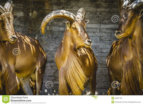 Deer, Group Of Mountain Goats, Family Mammals With Large