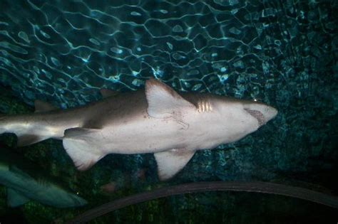 Shark Swimming Over Picture Seaworld San Diego