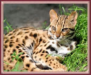 leopard cat asian leopard cats