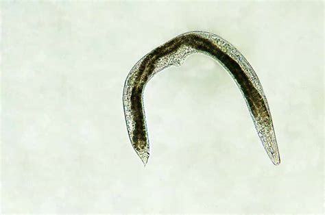 Use Beneficial Nematodes to Combat Insect Pests   Gardener ...