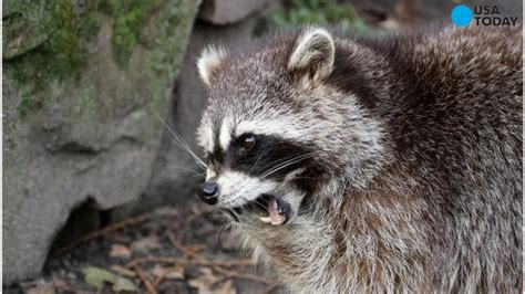 runner drowns rabid raccoon   attacks