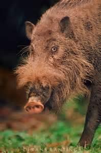 Bearded Pig Animal