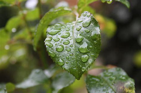 filegouttes de pluie sur une feuillejpg wikimedia commons