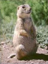gunnisons prairie dog wikipedia