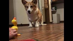 Corgi Excited by Toy Chicken - YouTube