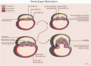neuroscience - Is the thecal sac ectoderm? - Biology Stack ...