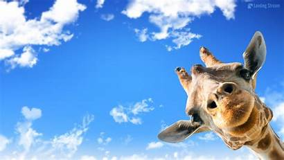 Giraffe Wallpapers Mac Desktop Funny Giraffes Backgrounds