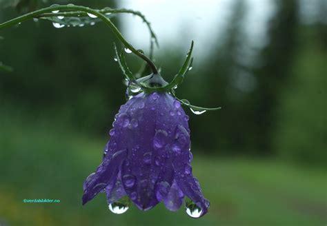 bl 229 klokke i regnet 21 06 2011 11 8 userpics 10004 bnr 6831