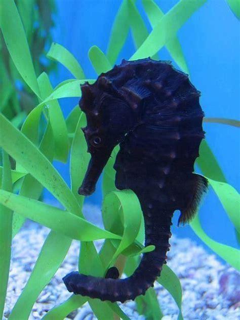 Black Seahorse So Unique