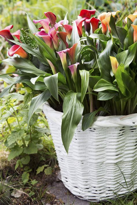 looking after lilies container planting in the summer everything you need to know bt