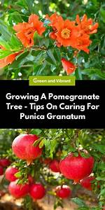 Growing A Pomegranate Tree