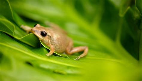 Frog Shedding Behavior by Vissim Spotlight Vissim V9 Saves Hawaii From Invasive