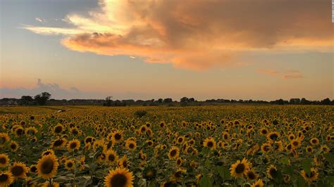 A farmer planted over 2 million sunflowers to provide a ...