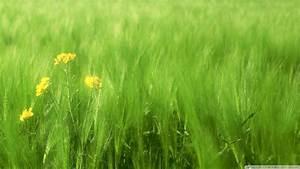 Download Green Wheat Field 2 Wallpaper 1920x1080 ...