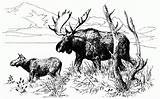 Moose Coloring Pages Pencil Baby Wildlife Animals Template Sketch Popular sketch template