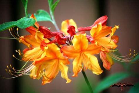 georgia state wildflower native azalea