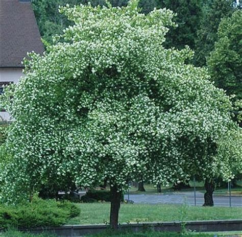 hawthorn tree washington hawthorn tree seeds ebay