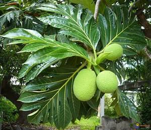 Arbre A Fruit : fruit pain fruit assez volumineux artocarpus altilis nom cr ole arbre pain doit son nom ~ Melissatoandfro.com Idées de Décoration