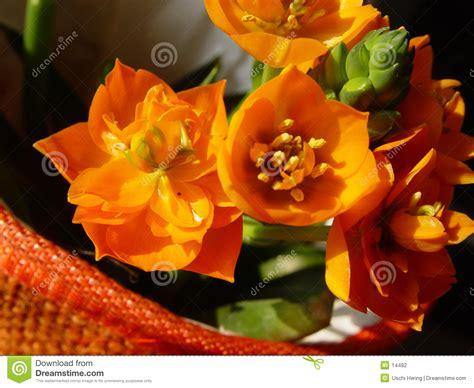 pianta fiori arancioni fiori arancioni in un pot fotografia stock immagine 14482