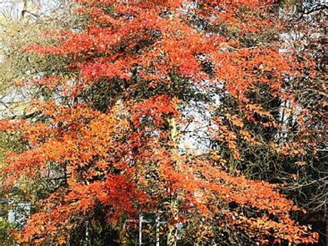 cauchemar en cuisine gordon ramsay le nyssa sylvatica un bel arbre d 39 automne