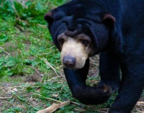 Picture 3 of 9 - Sun Bear (Helarctos Malayanus) Pictures
