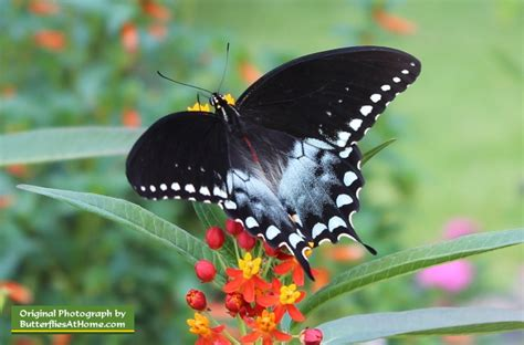 texas butterflies species resources texas butterfly