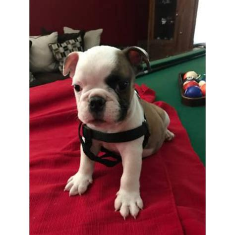 weeks  english bulldog puppies  phoenix arizona