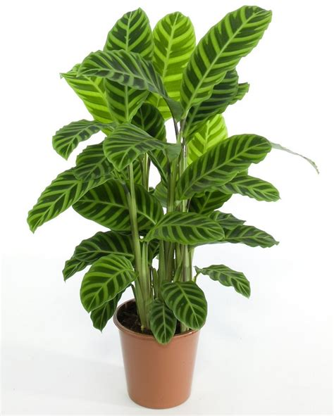 artificial weeping fig tree gellerts the of plants calathea