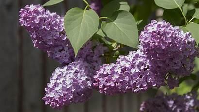 Lilac Desktop Backgrounds Flower Wallpapers Hipwallpaper Wallpapersafari
