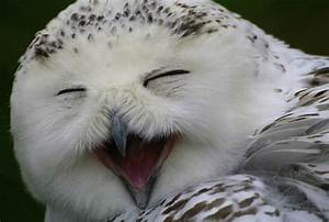 Laughing Owls ~... Laughing