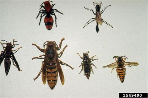 european hornet vespa crabro hymenoptera vespidae