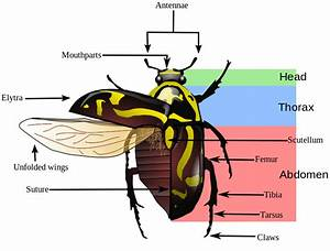 File Fiddler Beetle Morphology Diagram Svg